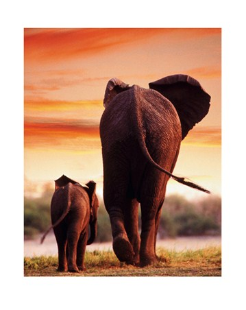 Elephant Cow with Calf - Tim Davis