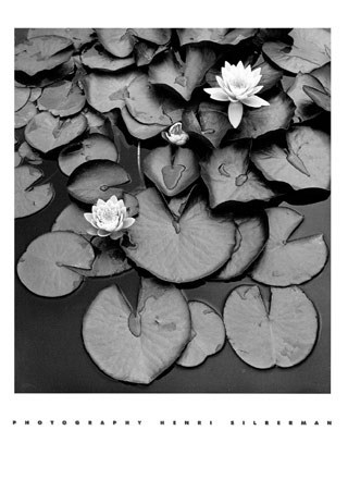 Waterlilies - Henri Silberman