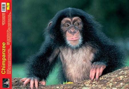 New-Animal-World-Chimpanzee-Photography-Poster-0CJD