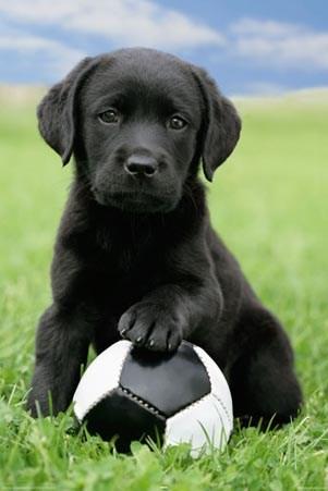 chocolate labrador puppies. Cute Black Labrador Puppy
