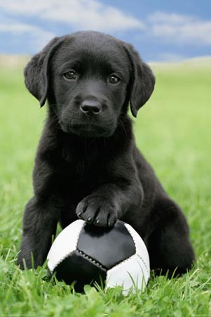 Cute Black Labrador Puppy - Posing with Football
