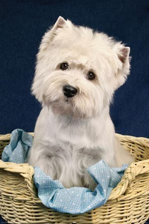 Sitting in his Basket - An Adorable Terrier