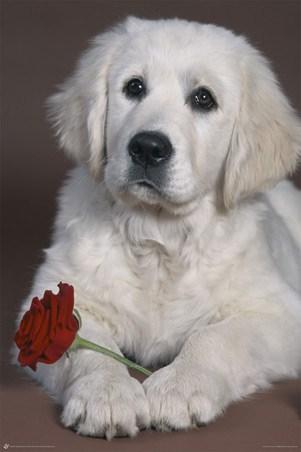 golden retriever puppy. Puppy Love - Golden Retriever