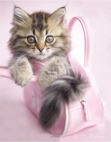Minnie - The Kitten in a Handbag - Rachael Hale