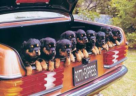 lgph0001+rotti-express-rottweiler-dogs-in-a-car-boot-poster.jpg