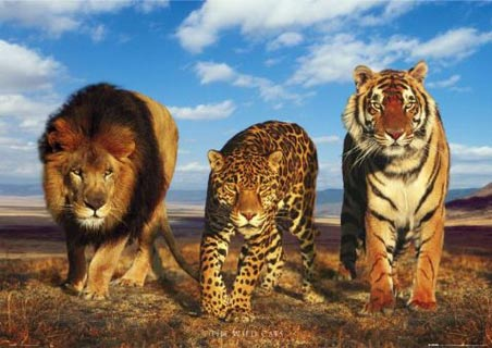 lgph0183+lion-leopard-tiger-wild-big-cats-poster.jpg
