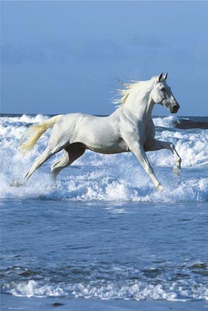 Horse - Cantering in the Sea's Surf - Bob Langrish