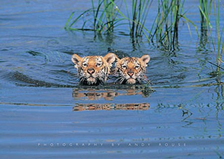 Swimming Tiger Cubs - Andy Rouse Photography