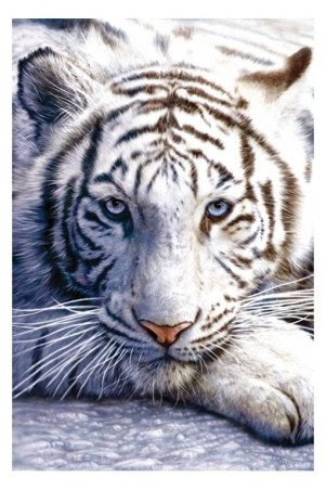 Blue Eyes White Fur - Tiger