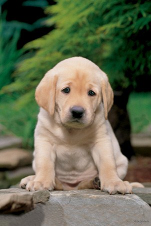 Labrador Puppies on Cute  Sad Looking Labrador Puppy  Labrador Puppy Poster  91 5cm X