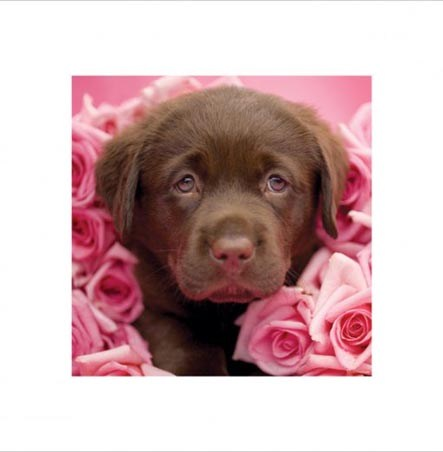 chocolate labrador puppies. Labrador Puppy - Rachael