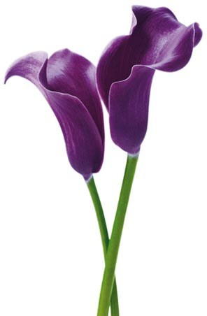 Purple Calla Lilies - Photography Mini Mural