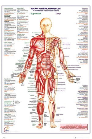 Major Anterior Muscles, Human Body Poster - Buy Online