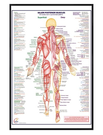 Gloss Black Framed Major Posterior Muscles, Human Body Framed Poster ...